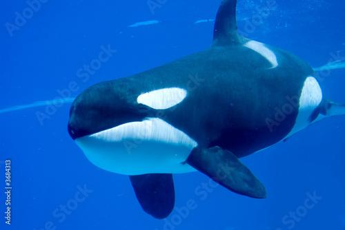 Fotografie, Obraz  Killer Whale in tank