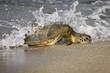 canvas print picture - Loggerhead Sea Turtle (Caretta caretta)