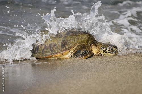 canvas print motiv - JEANNE : Loggerhead Sea Turtle (Caretta caretta)