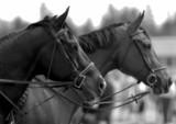 Czarno biały portet koni