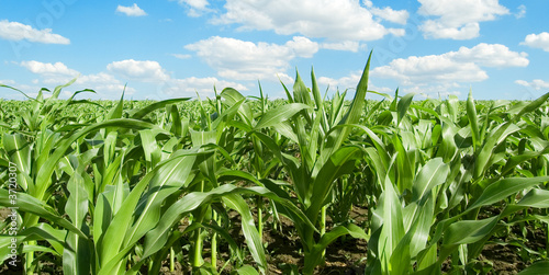 The cornfield, blue sky, clouds. Fototapeta
