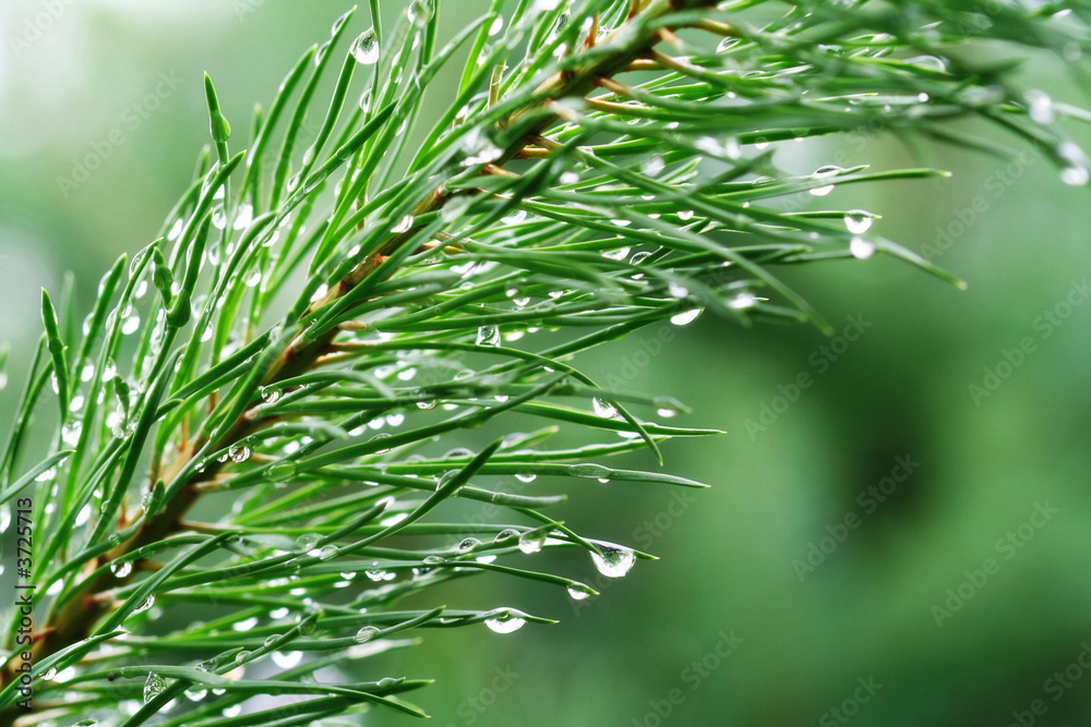 Fototapety, obrazy: Rain drops on young pine branch