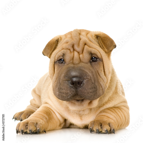 Plakat na zamówienie Sharpei in front of a white background