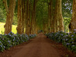 canvas print picture path with tree on two side in azores