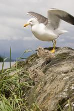 Lesser Black-backed Gull (Larus Fuscus) & Chicks
