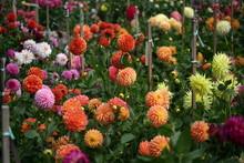 Garden Of Dahlias