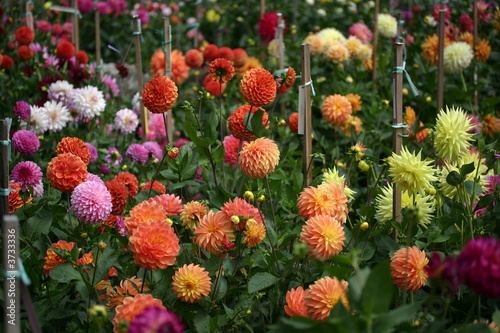 Canvas-taulu Garden of Dahlias