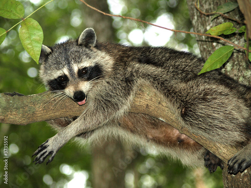 Raccoon 10 Fototapet