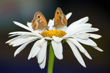 Two Butterflies On A Flower