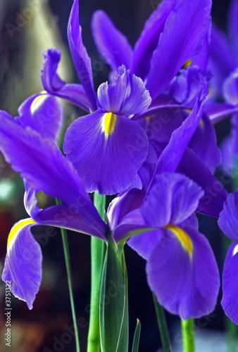 Spoed Foto op Canvas Iris Spanish Iris