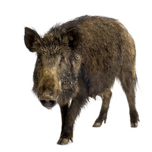 Wild Boar In Front Of A White ...