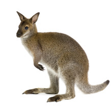 Wallaby In Front Of A White Ba...