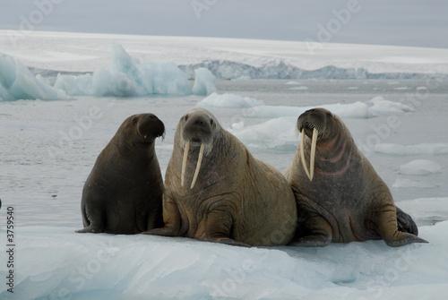 Fototapeta premium Walruses on the ice