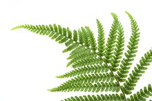 New Green Fern Frond On A Whit...