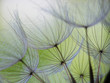 Leinwanddruck Bild - dandelion seed