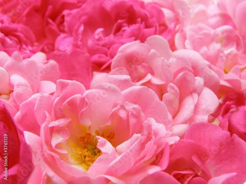 Fotobehang Macro pink pastel rose