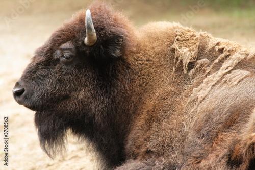 Fototapety, obrazy: american bison