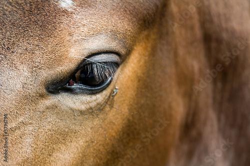 Canvas Prints Horses Pferdeauge