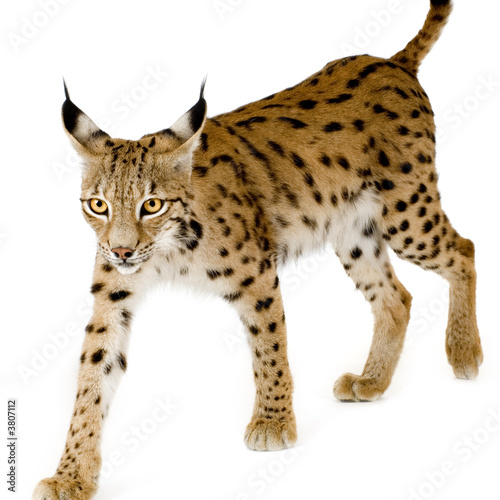 Poster Lynx Lynx in front of a white background