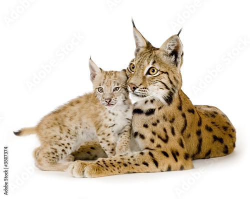 Foto auf Leinwand Luchs Lynx and her cub in front of a white background
