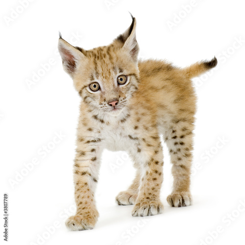 Poster Lynx Lynx cub in front of a white background