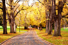 Fall Colors ~ Glorious Golden Elm Trees In A Park