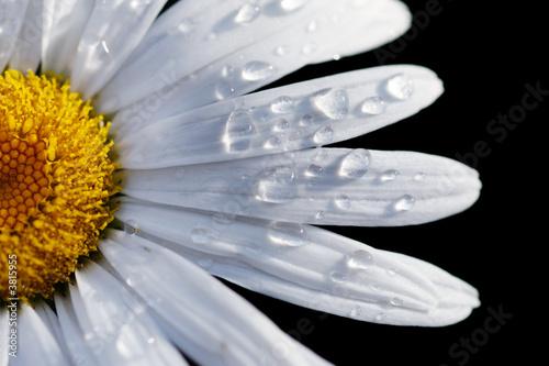 Macro close-up of a daisy flower isolated on black. Fototapeta