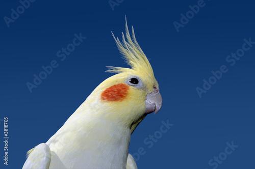 Garden Poster Parrot Lutino cockatiel