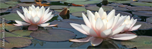 Photo Stands Water lilies Seerosen