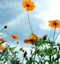 Detail Of Orange Flowers In Spring Time