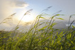 canvas print picture - Blades of grass blowing in the wind at sunrise