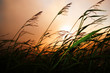 canvas print picture - Grass blowing in the wind at sunset