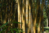 Żółte bambusy w parku