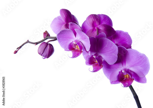 orchid Wallpaper Mural