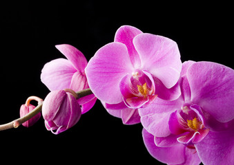 Fototapeta Wieloczęściowe purple orchid on the black background