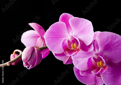 purpurowa-orchidea-na-czarnym-tle