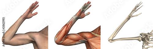 Fotografie, Tablou  Anatomical Overlays - right arm - 3D render