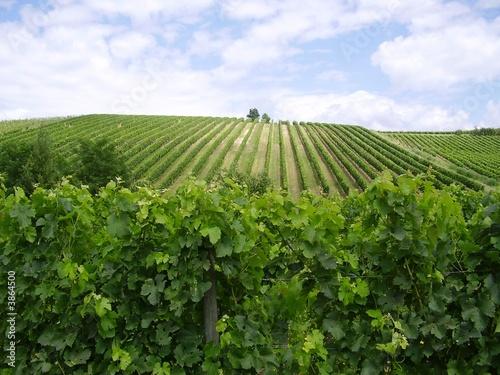 Fotomural vignes