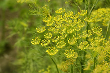 Macro Of Green Dill With Many ...