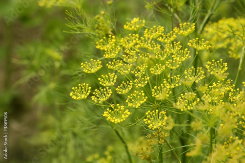 Carta da parati Macro of green dill with many flowers and stamen