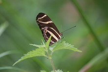 Butterfly , Brown And Red Dots 1