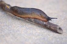 Garden Slug 2