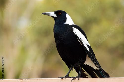 Obraz na płótnie An Australian Magpie perches on a railing.