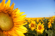 canvas print picture sunflowers on background of sky