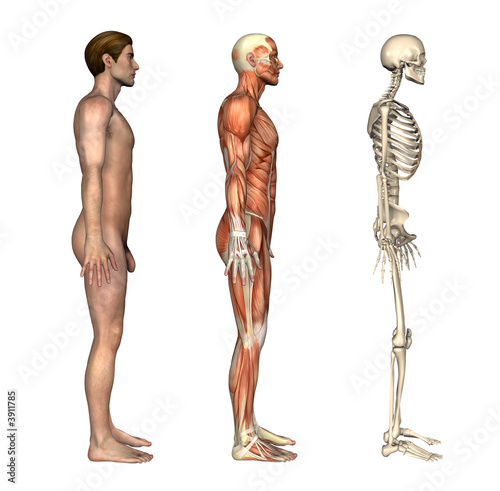 Anatomical Overlays Side View Buy This Stock Illustration And