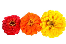 Three Big Zinnies Orange, Yellow And Red