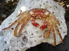 Spooky Hawaiian Crab