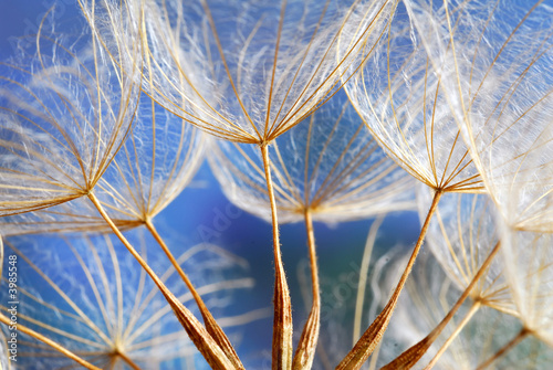 Canvas Prints Dandelions and water dandy blue