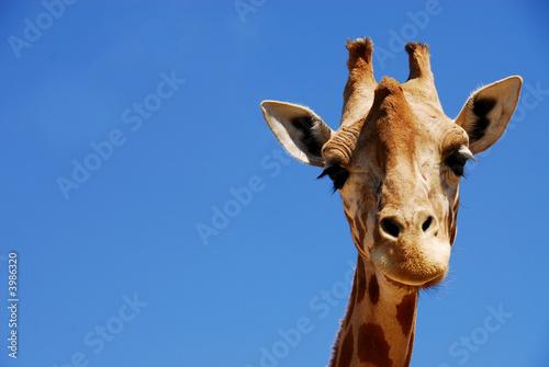 Poster Giraffe Yeux doux