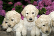 canvas print picture - Sweet Little Golden Labradoodle puppies